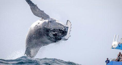 Вес счастья— 30 тонн: встреча сгорбатыми китами