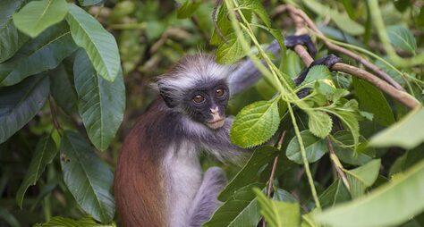 Национальный парк Джозани: красные колобусы, мангровые заросли иобряды шаманов