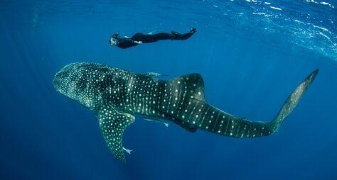 Китова акула знову з'явилась біля берегів Об'єднаних Арабських Еміратів