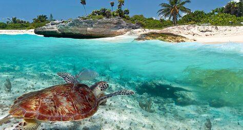 Снорклинг сморскими черепахами икупание всеноте